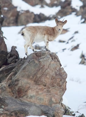 An ibex in Fuyun county of Altay, northwest China