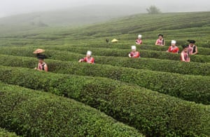 Tea growers pick leaves in Weng'an County, China