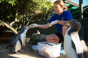Julia Reid at Penguin Place, the world's first entirely tourism-funded conservation programme