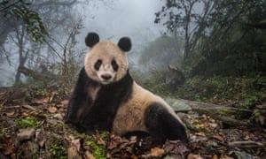 Ye Ye, a 16-year-old giant panda, in Wolong nature reserve in Sichuan Province, China.