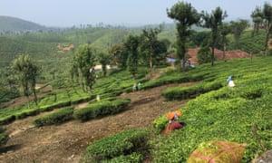Valparai tea plantation.