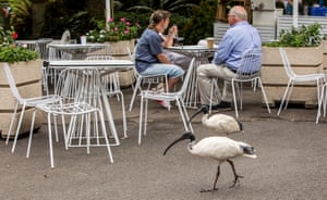 Two ibises do not disturb a couple eating lunch out of doors. Not this time