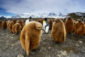Baby penguins huddle together on South Georgia Island, which is home to vast numbers of penguin colonies as well as other sea birds, including petrels, skuas and terns.