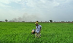 Employees of Saudi Star rice farm work in a paddy in Gambella. The Ethiopian government has built massive road, rail, agribusiness and hydropower schemes without pausing to conduct the necessary social and environmental impact assessments