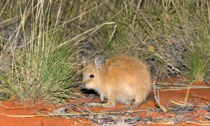 A critically endangered mala or rufous hare wallaby in the feral predator-proof fenced area on Newhaven Wildlife Sanctuary.