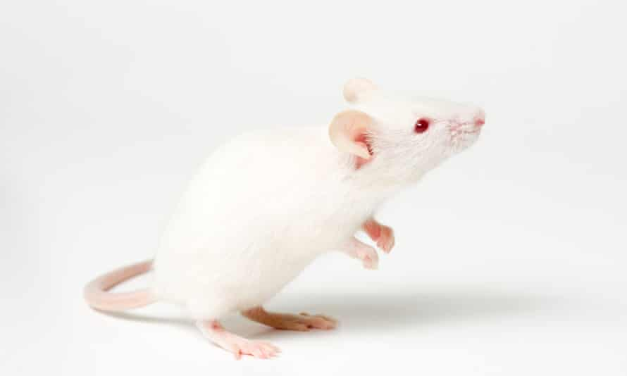 Male mice grew female genitalia and ovaries after removal of enhancer 13 from their genetic code.