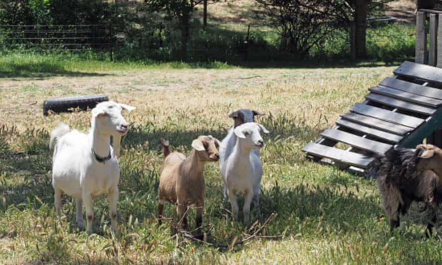 Goats on Omar Buckley's off-grid property