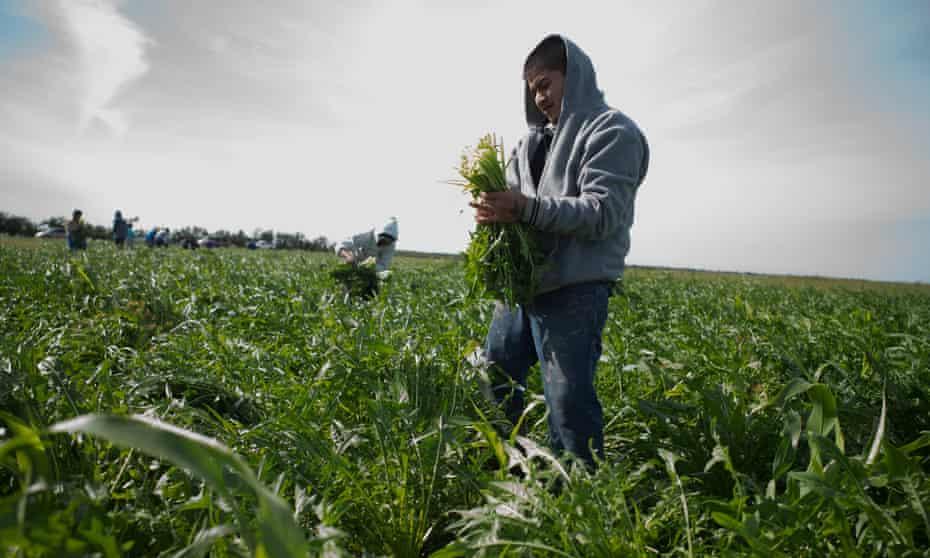 Guillermo Azuara picking crops