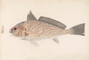This image of a chromis fish was painted in Venice, probably in the last quarter of the 16th century