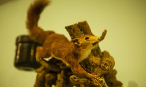 A stuffed red squirrel at the Booth Museum of Natural History.