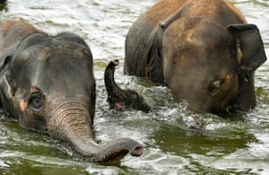 Brugelette, BelgiumA young elephant bathes with adults in its enclosure at the Pairi Daiza Zoo