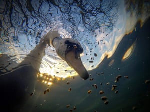 mute swan with neck under water