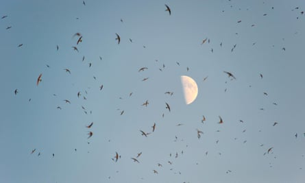A huge flock of swifts under a bright moon.