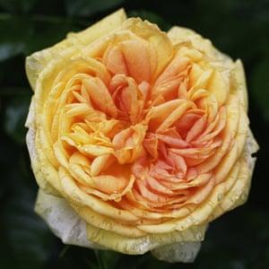 Rose 'Alchymist'.