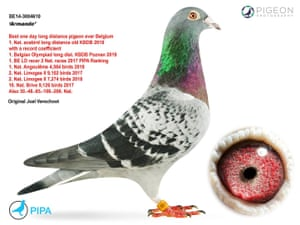 Armando, the world's first one million pound pigeon.