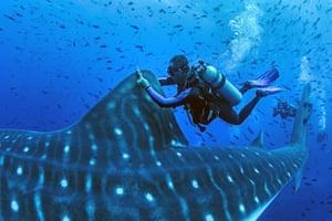 A diver tags a whale shark