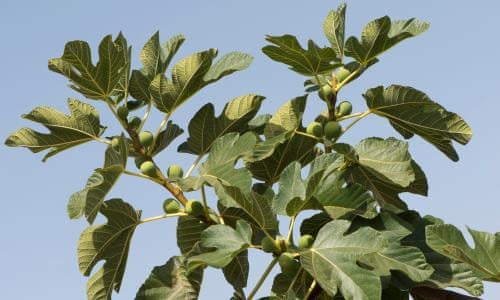 Fig trees for low-maintenance gardens | Life and style | The Guardian