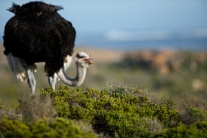 The common ostrich (Struthio camelus) in Cape Point, South Africa