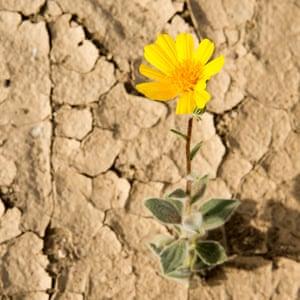 A desert gold wildflower