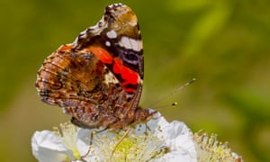 Red Admiral on Bramble