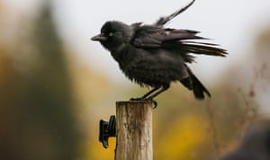 A young jackdaw rests on a fence post in Altheim, western Germany