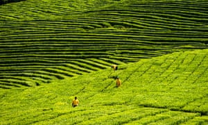A tea plantation in southern Russia: Early stage research suggests a molecule in green tea might have some benefits.