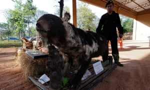 A stuffed bear removed from the tiger temple in Kanchanaburi province, Thailand.