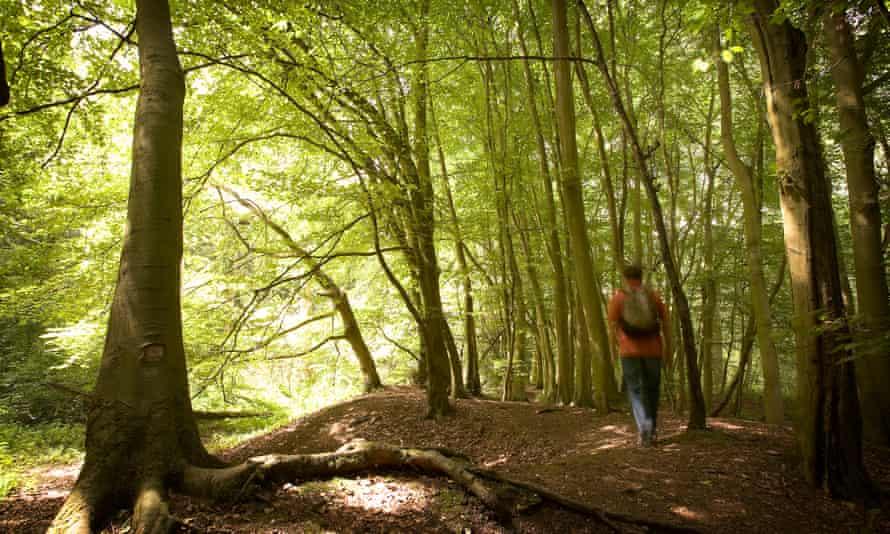 Lone walker in Salcey Forest