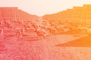 Sheep graze amid the panels at Longyangxia Dam Solar Park in China's Qinghai province. The plant has the capacity to produce 850MW of power.