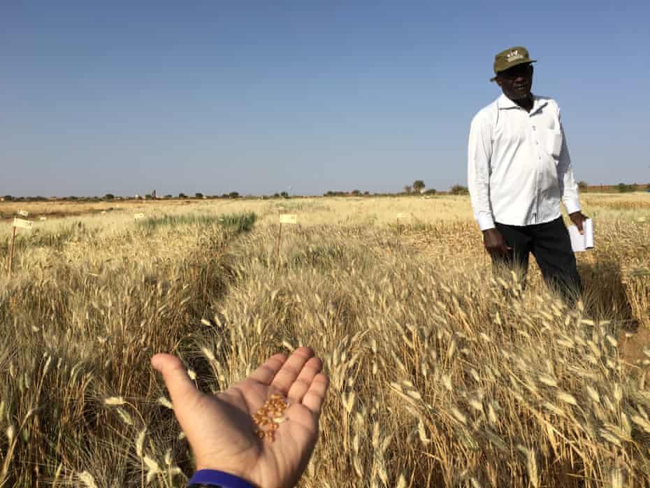 Adapting durum wheat varieties in West Africa Greta plot and great grains in  Kaedi, Mauritania on the border with Senegal