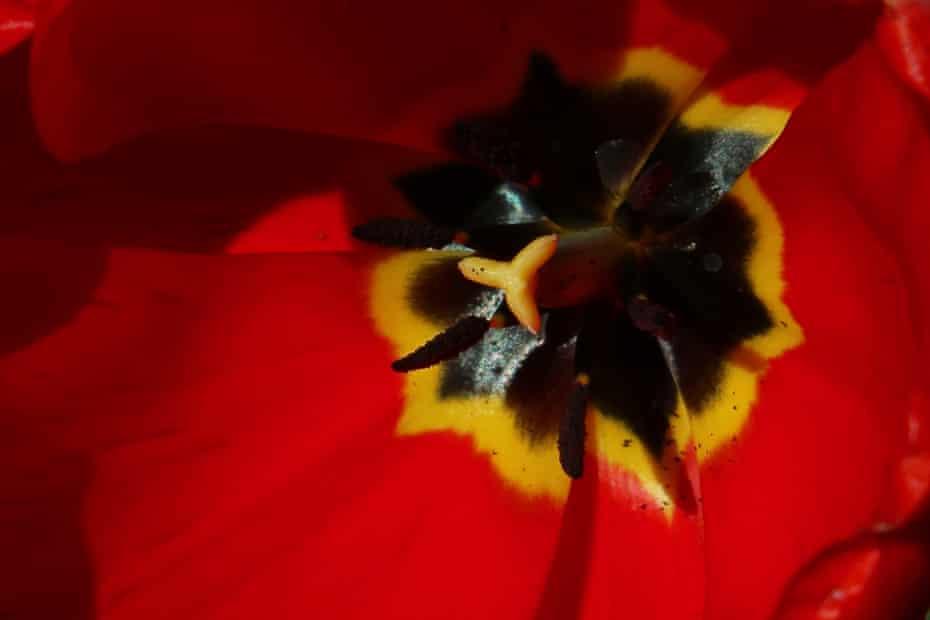 A close-up of a Red Revival tulip, 4 April