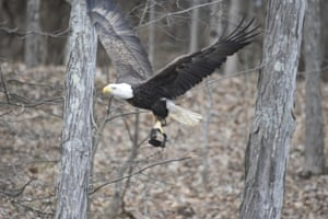 A photographer captured this bald eagle with a leg-hold trap clamped to a talon, struggling to fly near Bonneauville in south-central Pennsylvania, US