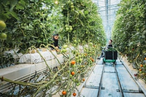 Germàn and Adriana harvest tomatoes in Friðheimar greenhouse, Reykholt