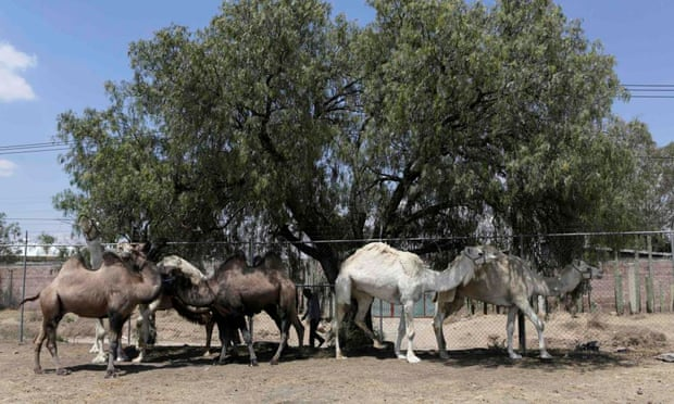 dromedario camellos bactrianos circo de méxico