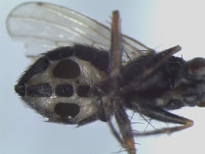 A fly infected with the fungus Strongwellsea tigrinae