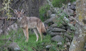 A coyote roams Long Beach in LA county. 'There's often a misconception that Los Angeles is a concrete jungle, when in reality the city is home to one of the most diverse ecosystems in the world.'