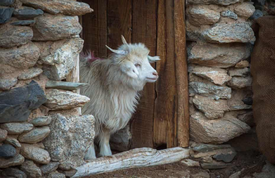 A Changra goat in its enclosure after a long, cold day in the mountains.