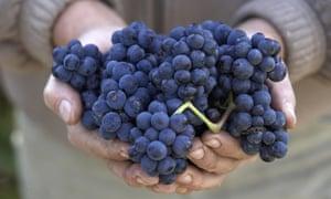 Handful of black grapes