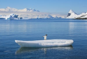 Graeme Green: Gentoo Penguin on an Ice Surfboard in Antarctica. The Gentoo is the world's third largest penguin species and can weigh up to 6kg. The animals prefer ice-free areas, including coastal plains, sheltered valleys, and cliffs