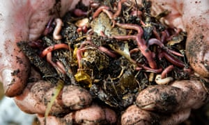 Close up of a mans hands holding earth worms in freshly dug soil from compost heap.