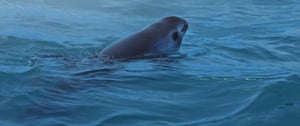 A vaquita – the smallest and most elusive whale on earth – seen in a still from the documentary Sea of Shadows