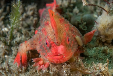 The red handfish, one of the species found in Tasmania, is listed as critically endangered.