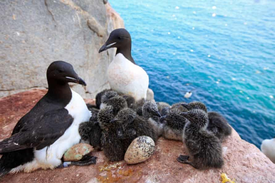 In the Arctic, thick billed murres are having to leave their nests more often to cool down, meaning eggs and chicks are left vulnerable to predators