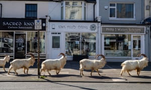 Goats' town ... the visitors enjoy the quiet streets near Trinity Square, Llandudno. Photograph: Peter Byrne/PA