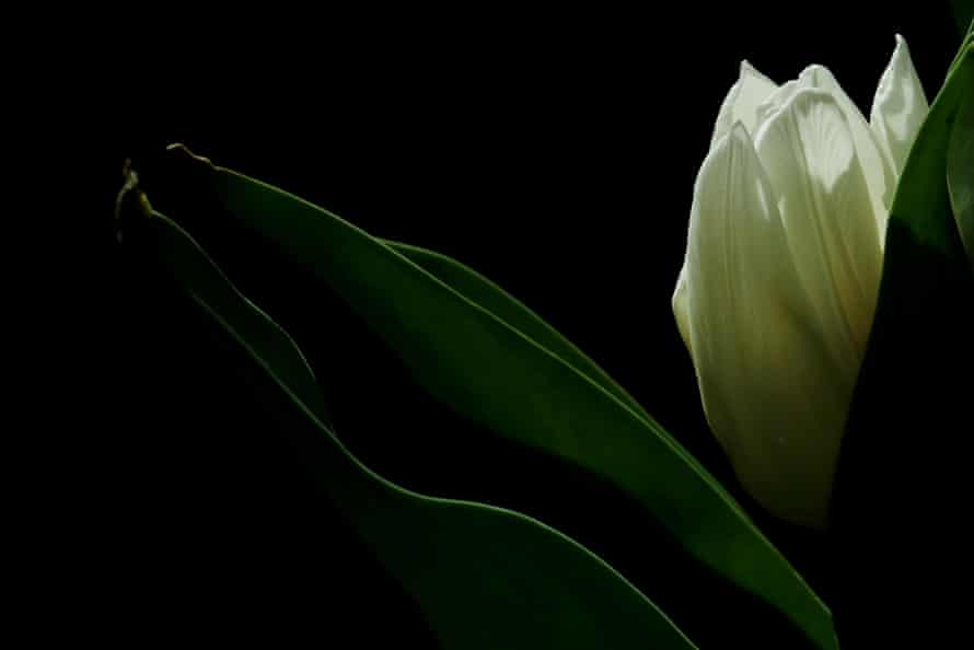 A close-up of the tulip variety White Prince, 4 April
