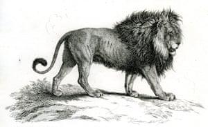 Lady Castlereagh's 'black-maned' lion