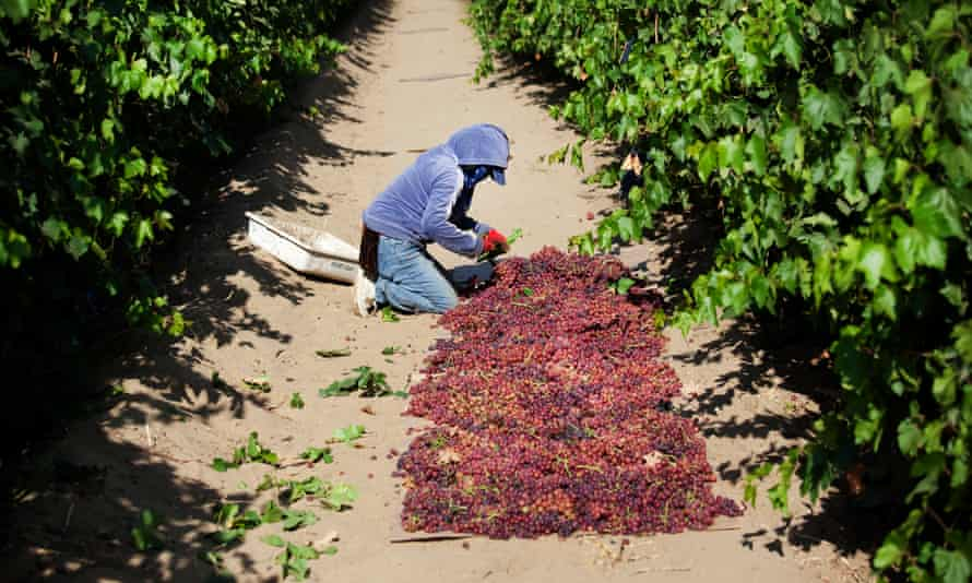 A  Mexican worker in a California vineyard, near the town of Lamont.