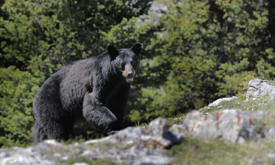 Clack bear approaching on West Wind Pass, Rockies, Alberta
