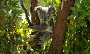 Koalas Shenhua
