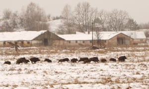 A group of wild boar frolic in the Chernobyl exclusion zone, free from human interference.